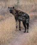 06 hyena 195623
