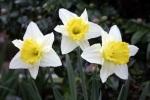 213 daffodils 84873