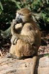 282 baboon 673408