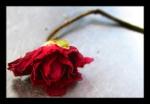 red rose 598092