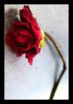 5 dead rose 598092