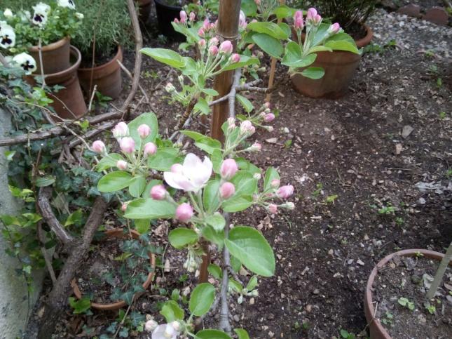 blossomapple